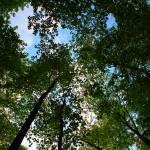 """Trees From Below"" by nativenerd"