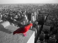 New York Pigeon
