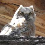 """""""Great-horned Owlet"""" by PettProjects"""