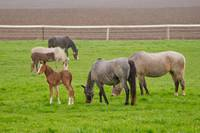 Mares and foals in the Spring rain