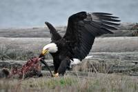 Bald Eagle Feasting