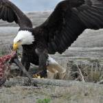 """Bald Eagle Feasting 1"" by CaptureLife"