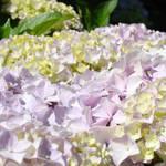 """Floral art Pink Hydrangea Flowers Baslee Troutman"" by BasleeTroutman"