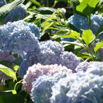 """Blue Hydrangea Floral Flowers Garden art"" by BasleeTroutman"
