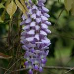 """Purple Wisteria"" by TallyAnn"