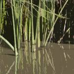 """Reeds Reflected"" by RobinCowles"