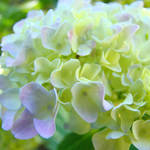 """Floral Yellow Pink Green Pastel Hydrangeas"" by BasleeTroutman"