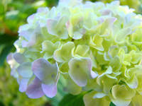 Floral Yellow Pink Green Pastel Hydrangeas