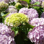 """Office Art Floral Pink Hydrangea Flowers"" by BasleeTroutman"