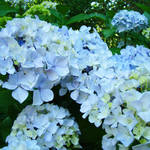 """Garden Floral Art Blue Hydrangea Flowers"" by BasleeTroutman"