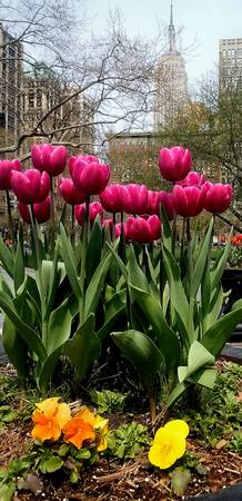 Pink Tulips in Manhattan, New York City