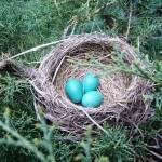 """""""Robin Eggs"""" by legion150"""