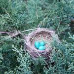 """""""Robin Eggs Two"""" by legion150"""