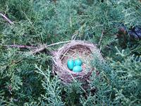 Robin Eggs Two