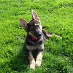 """""""German Shepherd Puppy"""" by legion150"""