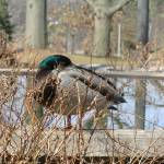 """Duck"" by legion150"