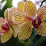 """Striped Moth Orchids"" by KatesGrace"