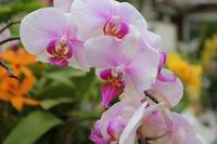 Pink and White Moth Orchid