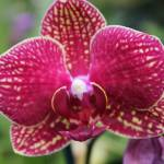 """""""Spotted Moth Orchid"""" by KatesGrace"""