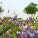 """Cross in Bluebonnets"" by DreamBigInk"