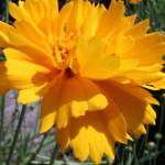 """Golden Coreopsis"" by DreamBigInk"