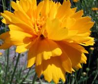 Golden Coreopsis