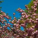 """Kwanzan Cherry tree Flowers"" by MichaelKarasik"