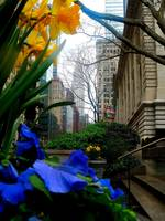 Daffodils with Chrysler Building in Background