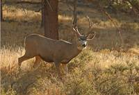 Mule Deer on the Mountain