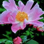 """Pink Flower Botanical Garden"" by PhotographsByCarolFAustin"