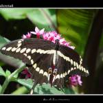 """swallowtail"" by Aleecat"