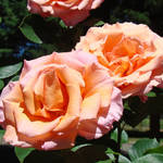 """Beutiful Rose Garden Pink Orange Floral"" by BasleeTroutman"