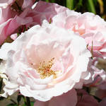"""Pink Rose Flowers Garden Floral art prints"" by BasleeTroutman"
