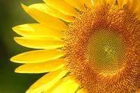 Heart of the Sunflower