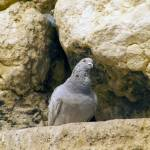 """Pigeon in the Western (Wailing) Wall (Kotel)"" by janesprints"