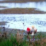 """Roseate Spoonbill Hunting"" by ChrisCrowley"