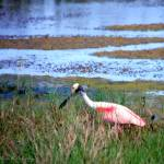 """Roseate Spoonbill On the Hunt"" by ChrisCrowley"