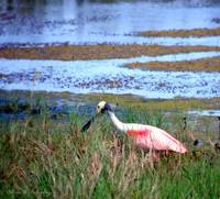 Roseate Spoonbill On the Hunt