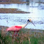 """Spoonbill on the Prowl"" by ChrisCrowley"
