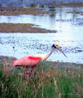 Spoonbill on the Prowl