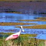 """Roseate Spoonbill in the Water"" by ChrisCrowley"