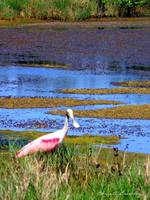 Roseate Spoonbill in the Water