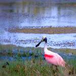 """Roseate Spoonbill in the Wild"" by ChrisCrowley"