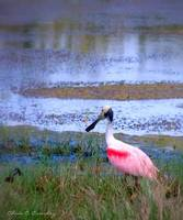 Roseate Spoonbill in the Wild