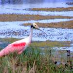 """A Roseate Spoonbill"" by ChrisCrowley"