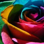 """""""roses 036"""" by djphotos"""