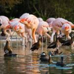"""Flamingos & Black-bellied Whistling Ducks"" by miyuru"