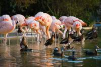 Flamingos & Black-bellied Whistling Ducks