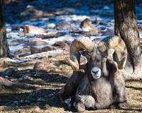 say cheese - Mouflon