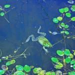 """""""Frog lily pads"""" by ArtbySheryl"""